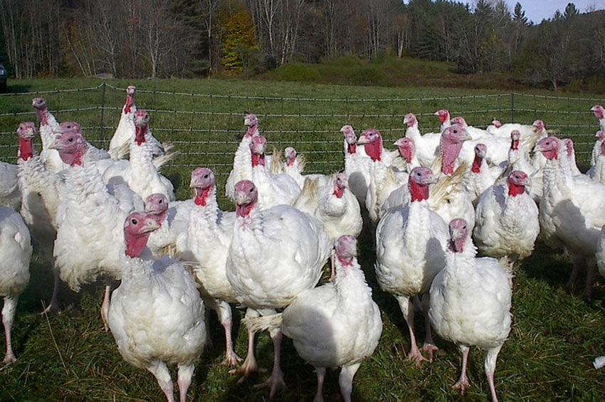 turkeys-2.jpg