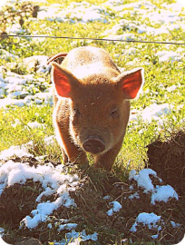 Swirl Piglet in the snow