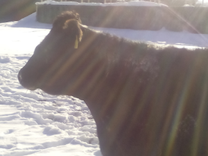 Roseanne the cow sunbathing this morning