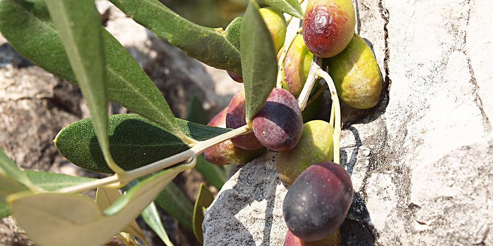 Die Oliven