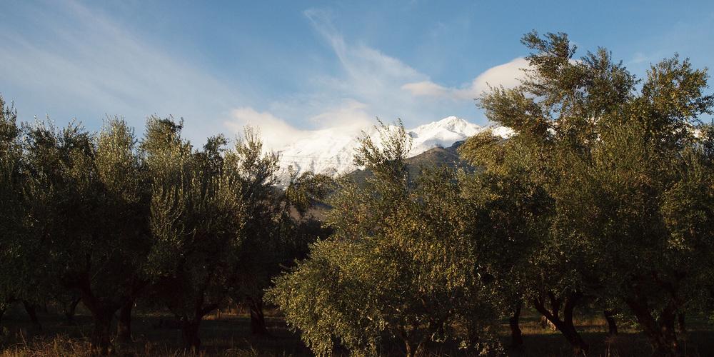 Olivenhain am Taygetosgebirge