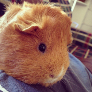 As much as I didn't want the guinea pigs, they have really become part of the family. Sometimes I hold one, when I just need an extra snuggle :)