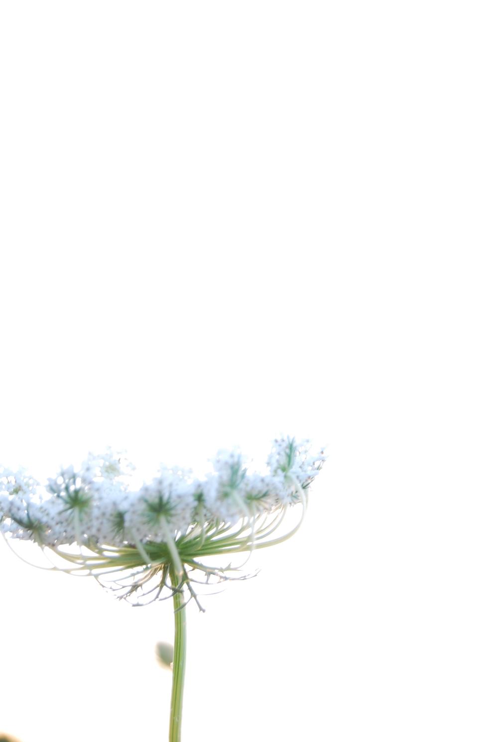 Lace flowers magic hour 156.JPG