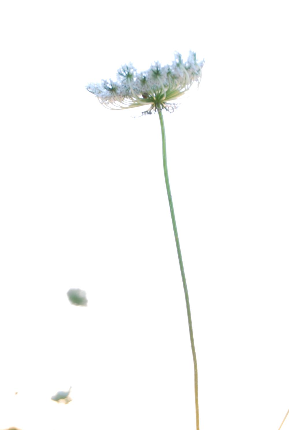 Lace flowers magic hour 157.JPG