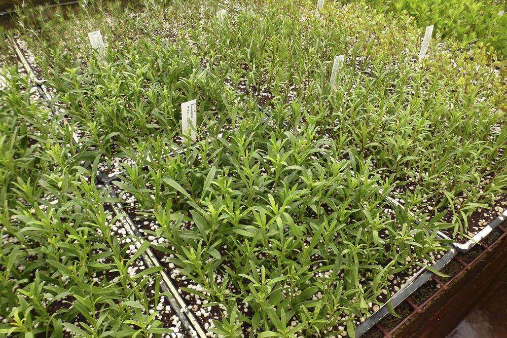 Eremophylla plant seedlings