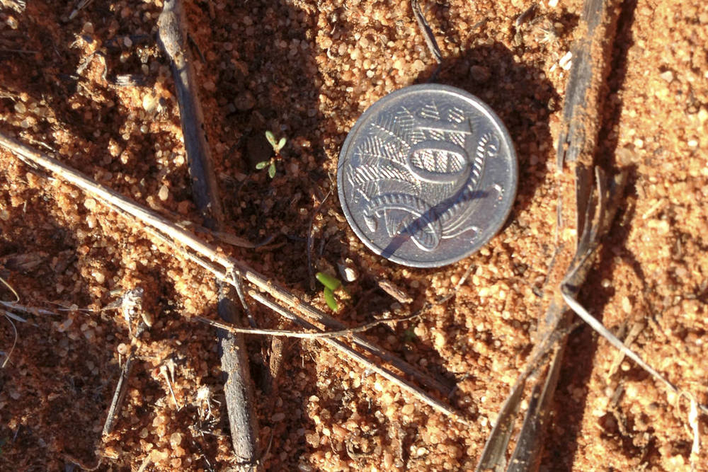 Early seedling germination