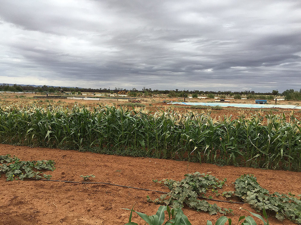 Crops from recycled water