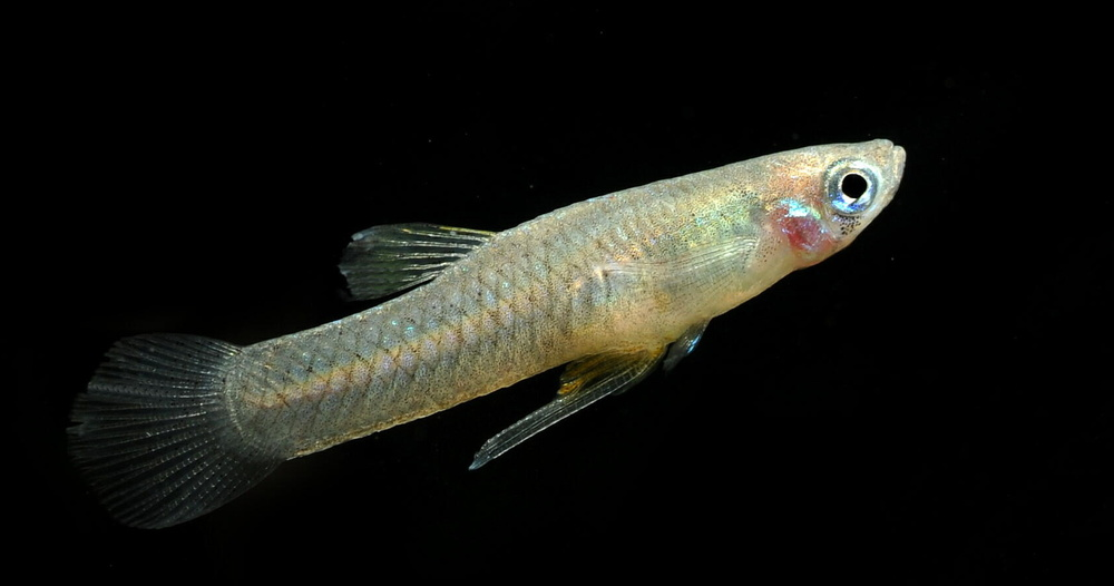 Male Mosquitofish