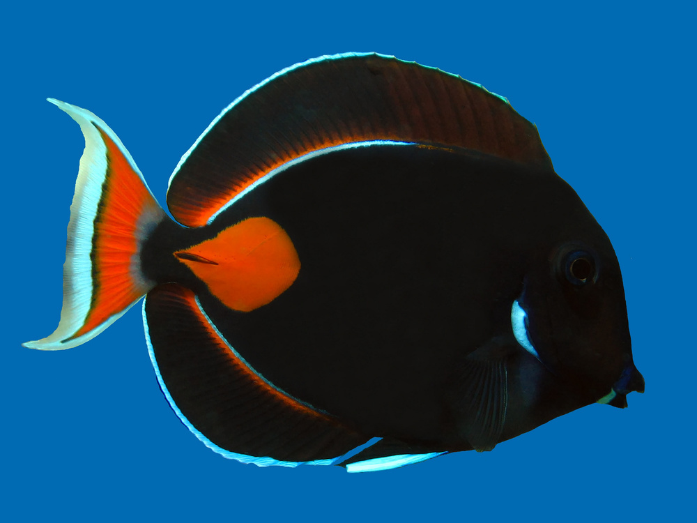 Achilles Tang Facts Achiles Tang