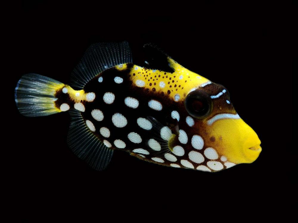 Clown triggerfish fish laboratory for Clown fish scientific name