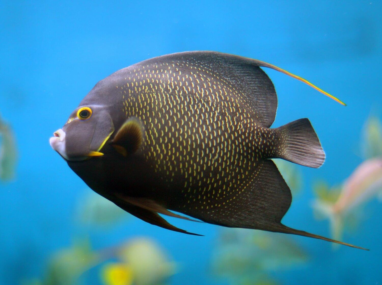 French Angelfish Fish Laboratory