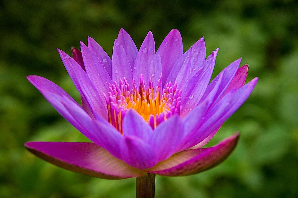 single lotus.jpg