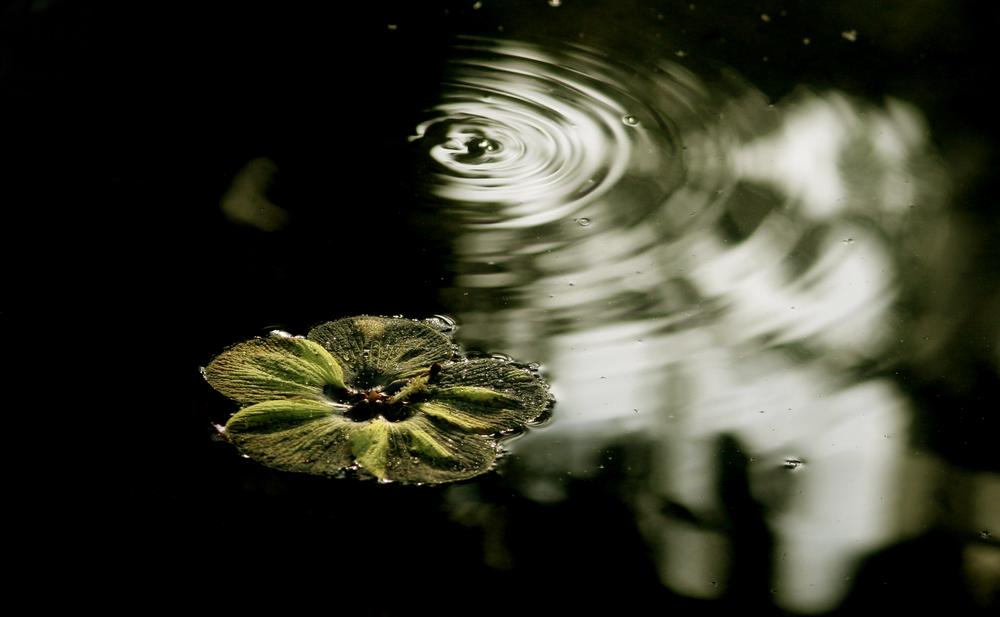 water plant ripple.jpg
