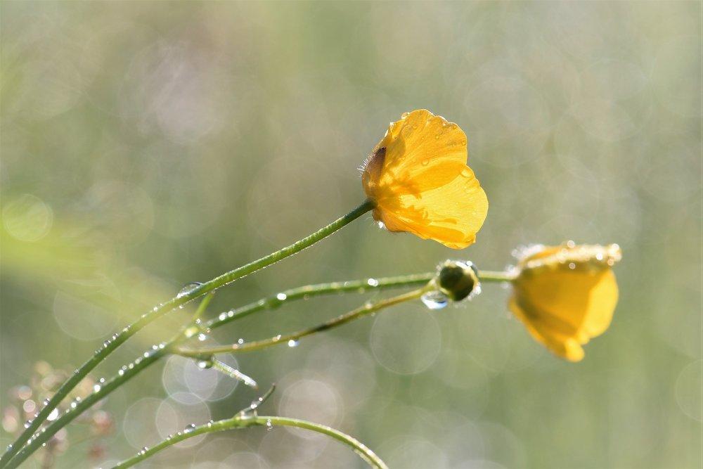 buttercup-2246129_1920.jpg