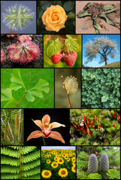 Plants sources, Image source Wikipedia