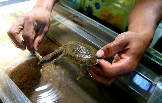 Asian Giant Soft-Shelled Turtle