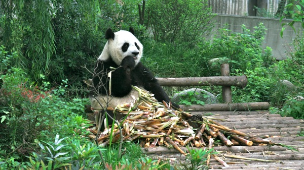 Giant Panda Bear, Chengdu Panda Center