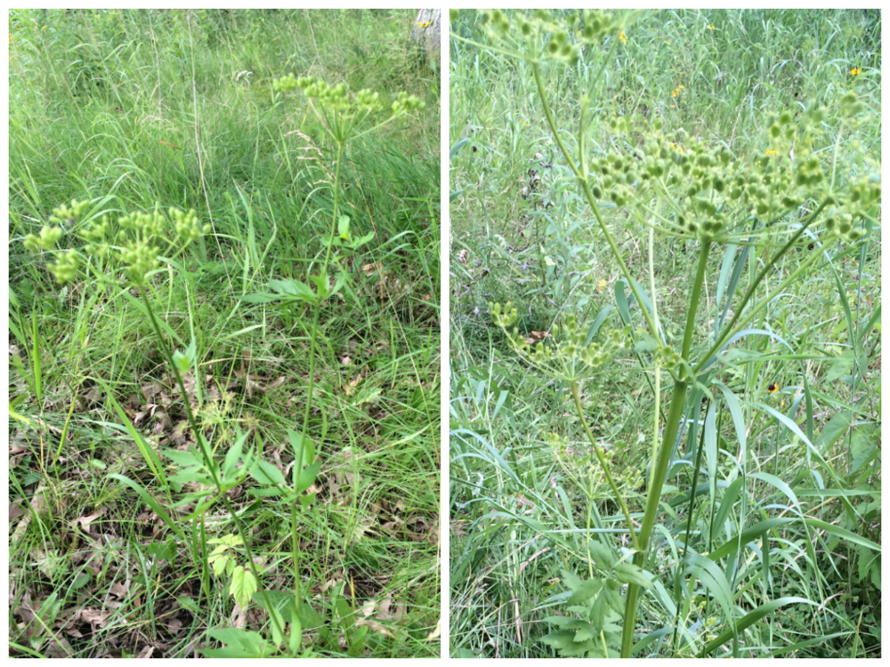 Left: Golden alexander Right: Wild parsnip