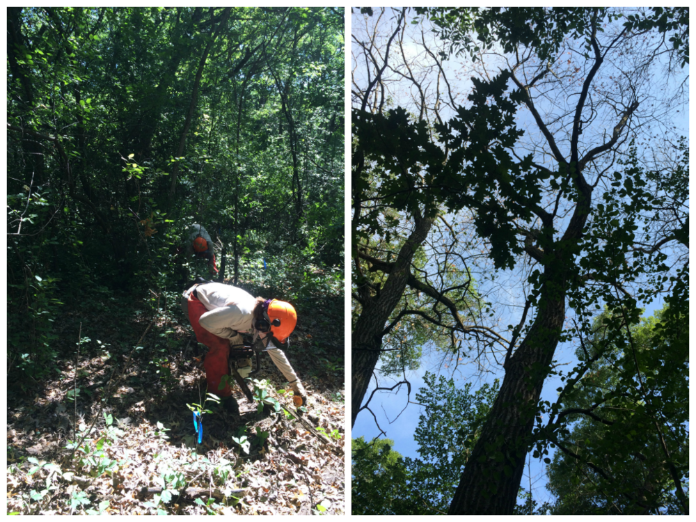 (L) Preparing to plow by removing buckthorn.                              (R) A golden and slightly barren crown are key symptoms of oak wilt.