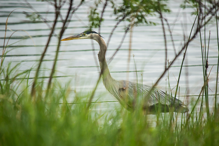 Great blue heron waded silently through the water beyond the grass, trees and shrubs.
