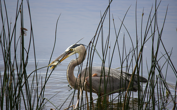 Great blue heron about to swallow a freshly caught fish from Lake Phalen.