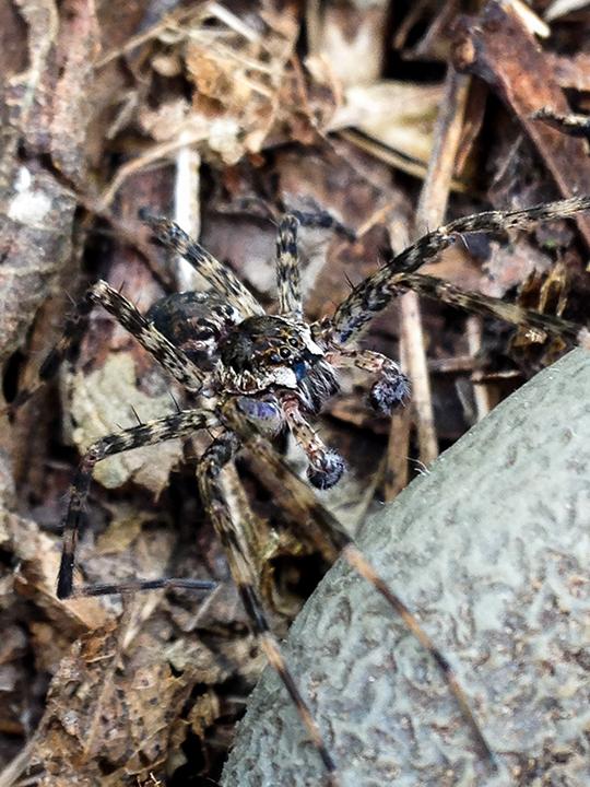 Dark-fishing-spider,-Lilydale.png