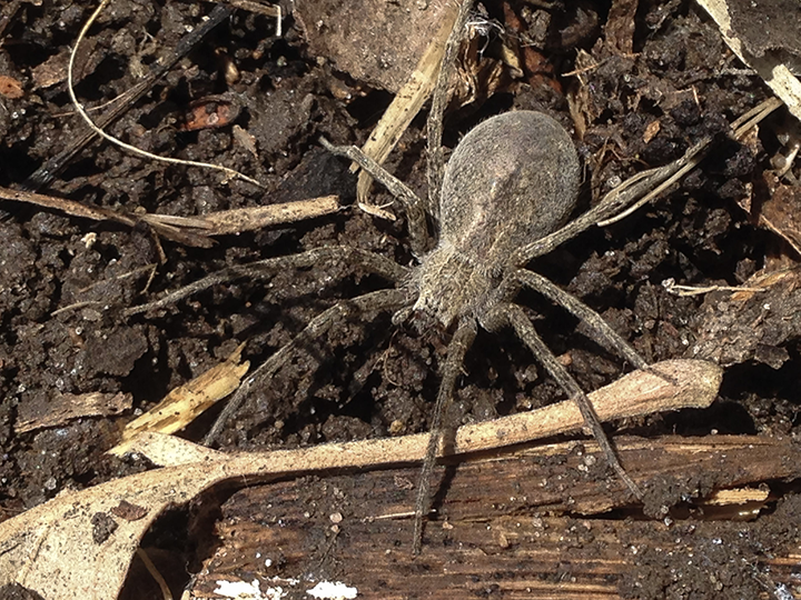 Nursery-web-spider-(female)-05,-Hidden-Falls.png