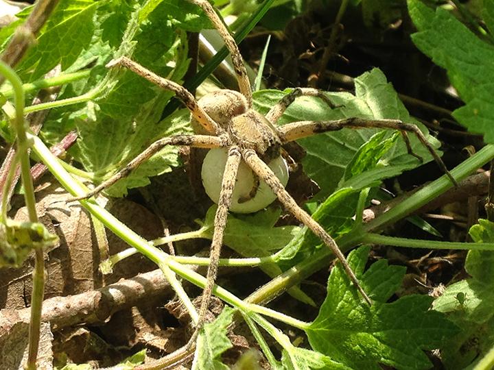 Nursery-web-spider-02,-Hidden-Falls.png