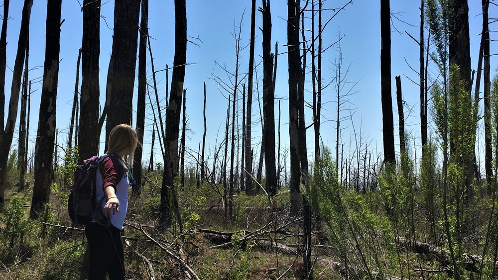 Pictured: Hiking amidst the pines affected by the 2011 Bastrop Wildfire March 2016 | Bastrop State Park, Bastrop, TX