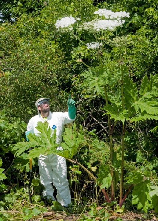The plant with the white flowers growing well above the head of the man is giant hogweed. The protective clothing is not a fashion statement—this plant causes severe burns and should not be trifled with. We don't want it in MN.  *photo courtesy of New York State Department of Environmental Conservation