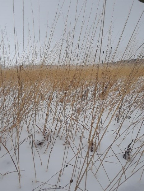 Grasses weathering the cold of Minnesota at Lost Valley Prairie SNA. All the DNR IPs got a tour of this wintry wonderland.