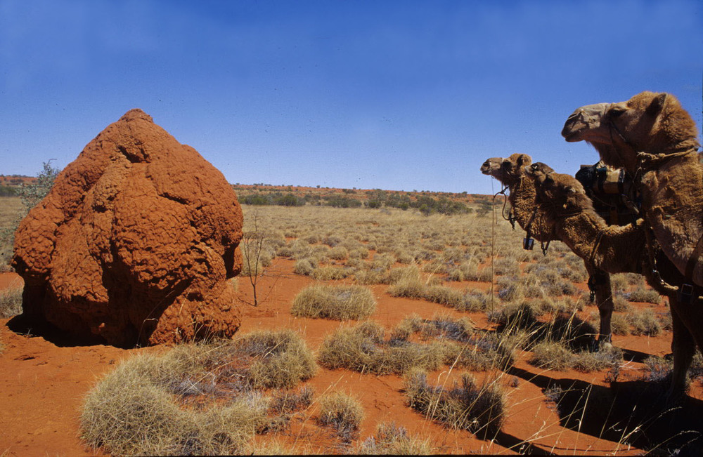 Termite mounds, northern Simpson Desert.
