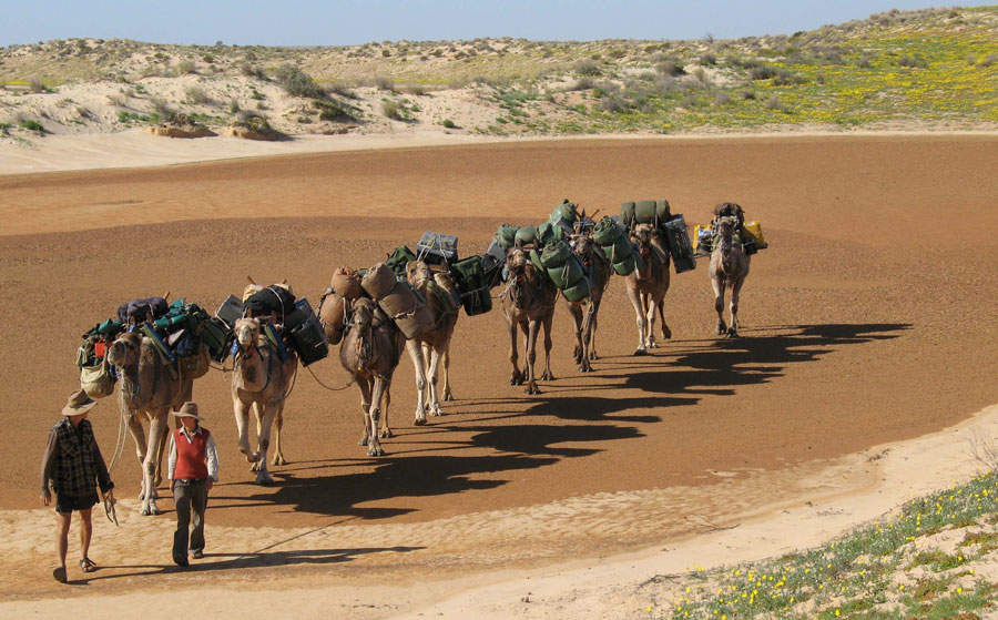 The camel team walks across a small claypan, Arid Rivers Expedition 2007.