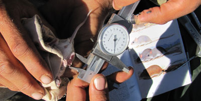 Taking measurements of the hind leg of a Striped-faced dunnart, 2011.