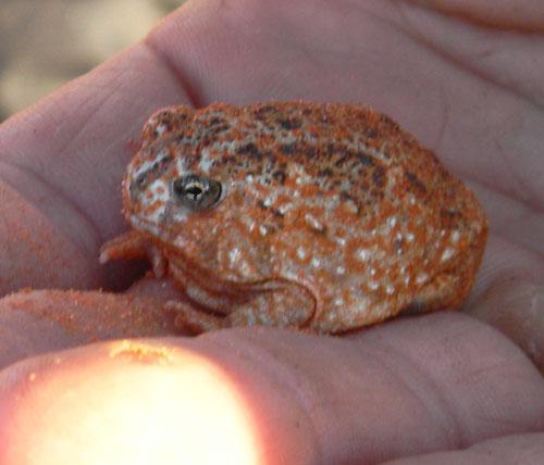 Sanddune frog.