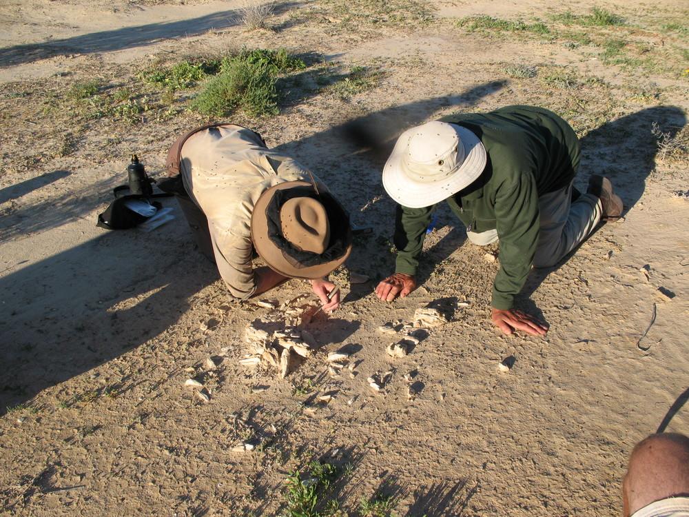 Inspecting a megafauna fossil.