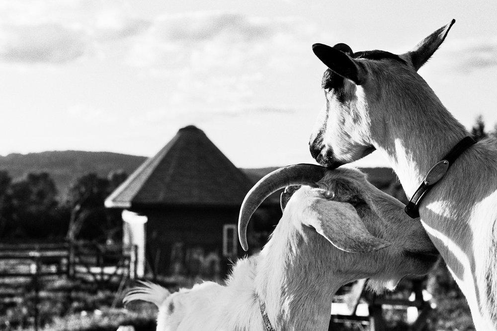 goatfarm