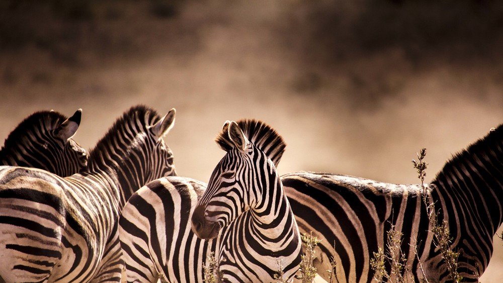 julia wheeler photography, julia wheeler, africa, zebra, beauty