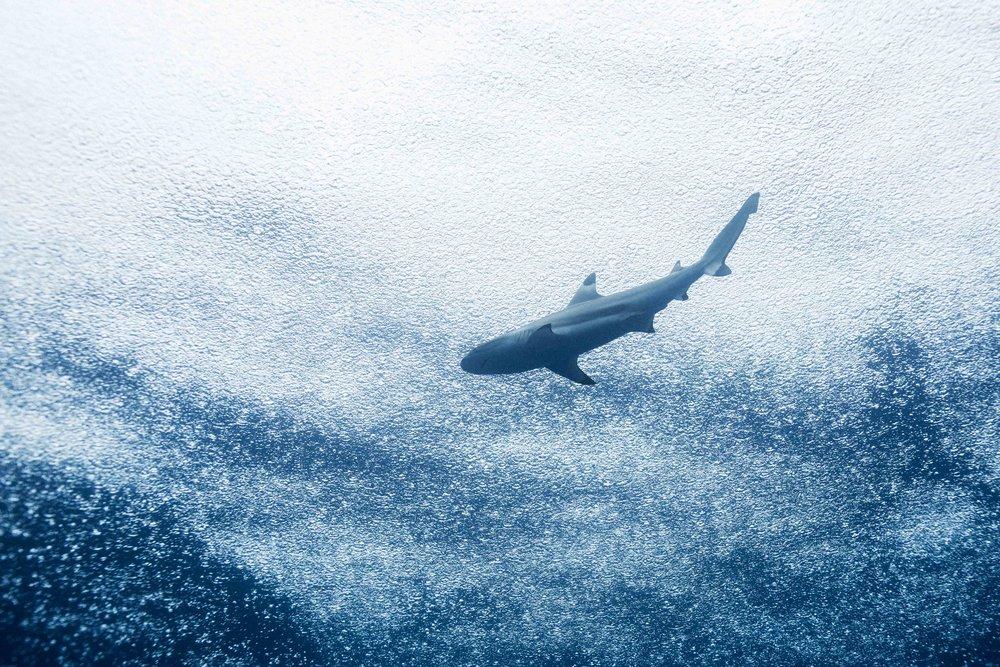 Shark Rain Above