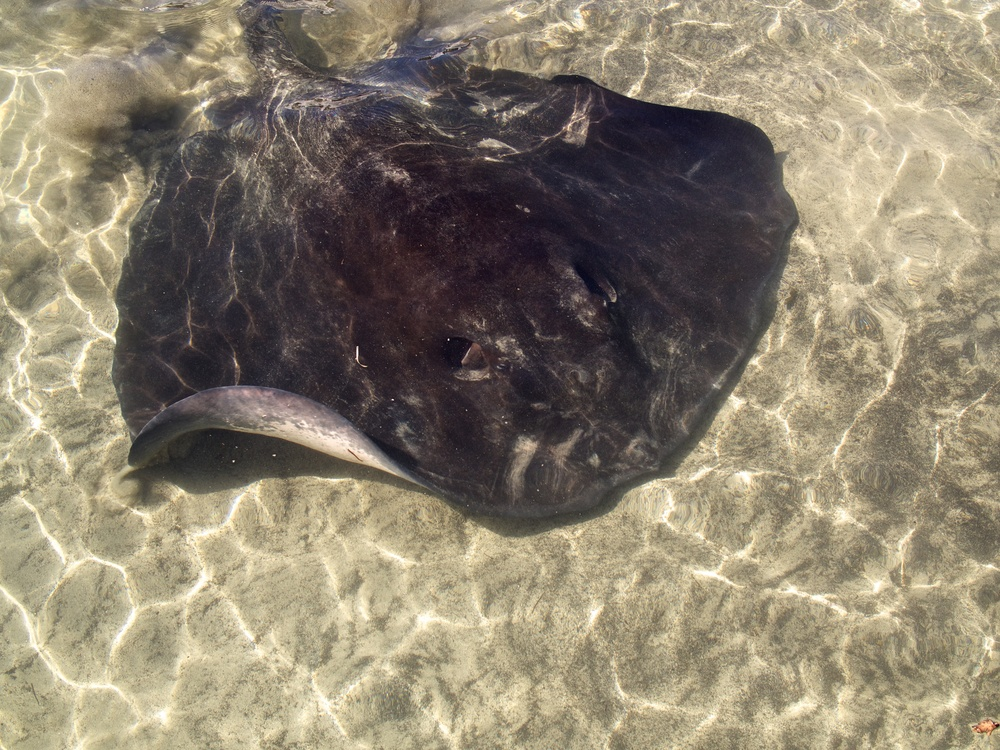 Stingray hovering about in the shallows