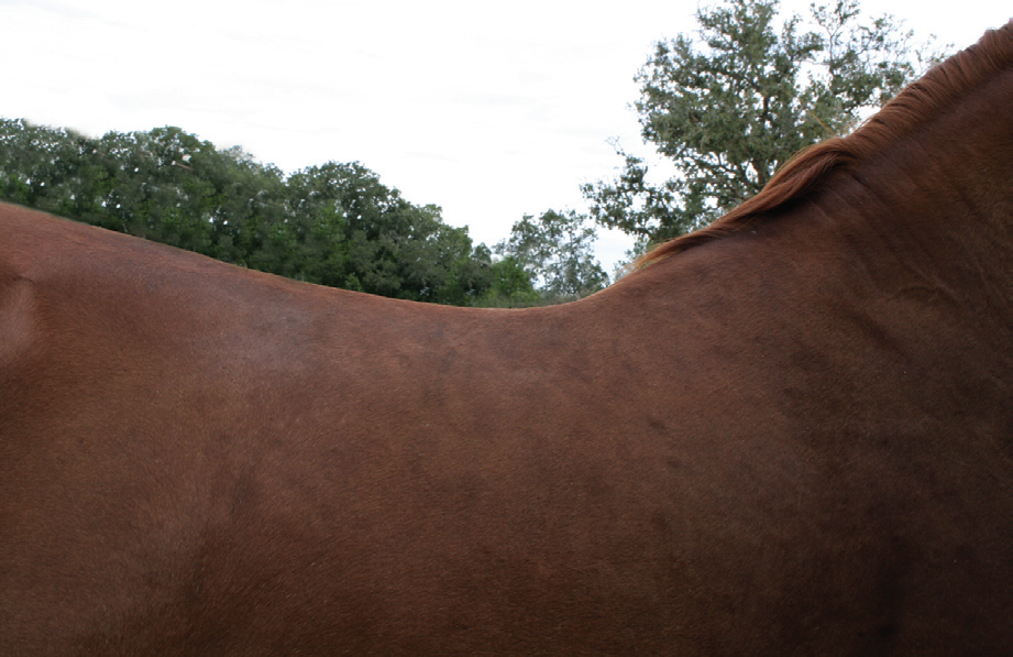 Foundation type horse with rounded withers that typically needs a Wide or Full Quarter horse tree.