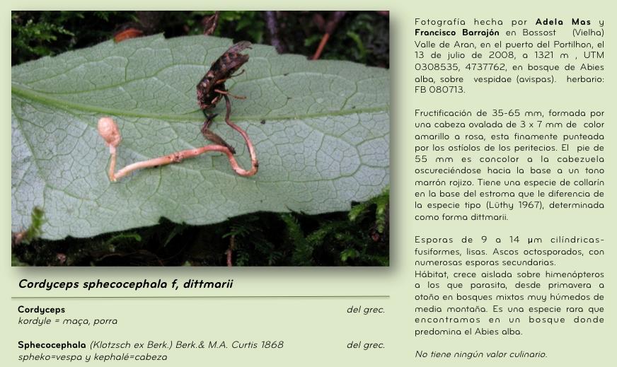 Cordyceps sphecocophala f, dittmarii