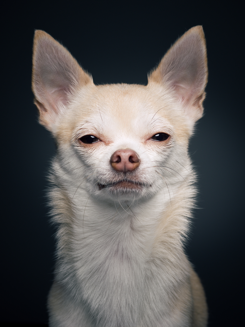 klaus-dyba-dog-photography-chihuahua