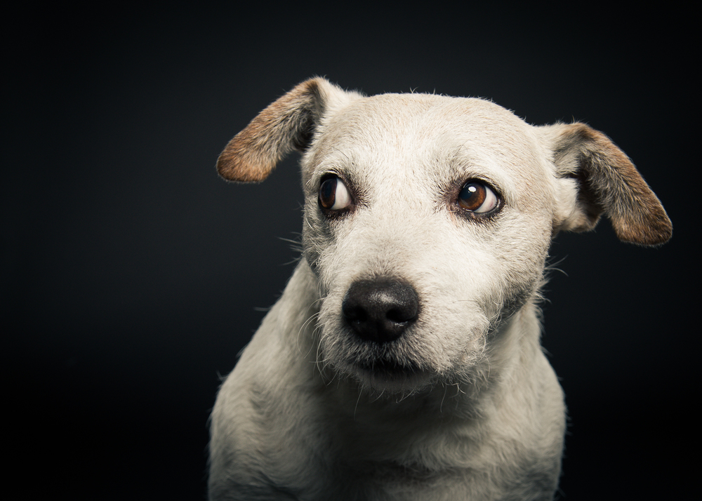 klaus-dyba-dog-photography-jack-russel