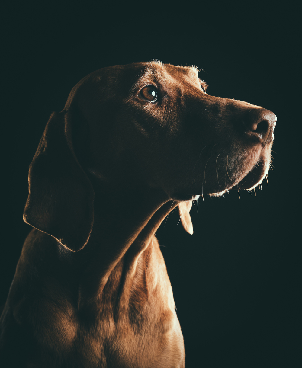 klaus-dyba-dog-photography-viszla