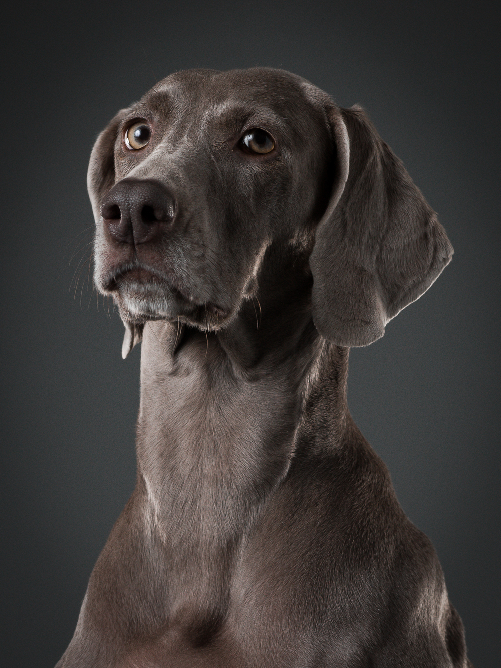klaus-dyba-dog-photography-weimaraner