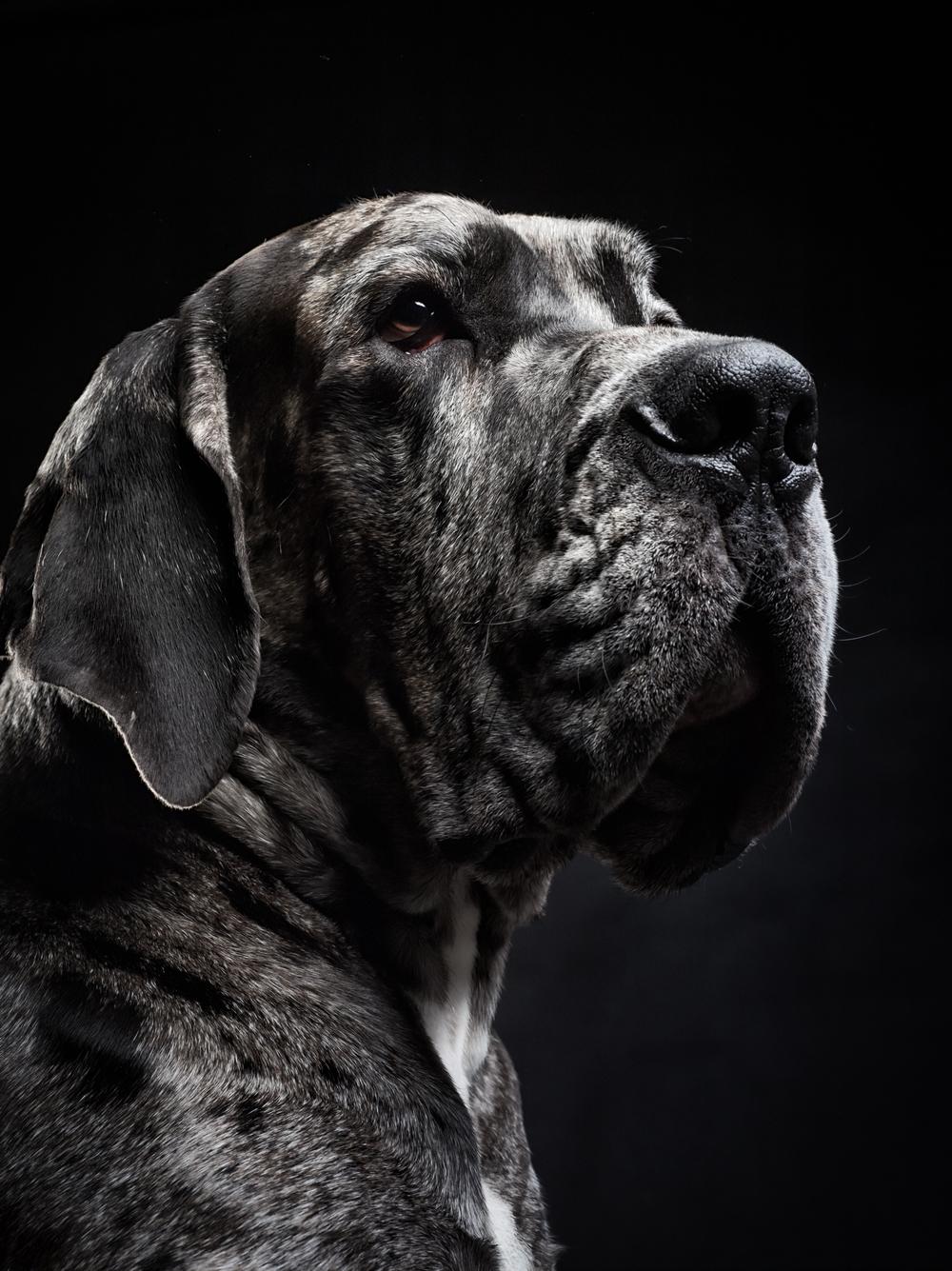 klaus-dyba-dog-photography-great-dane
