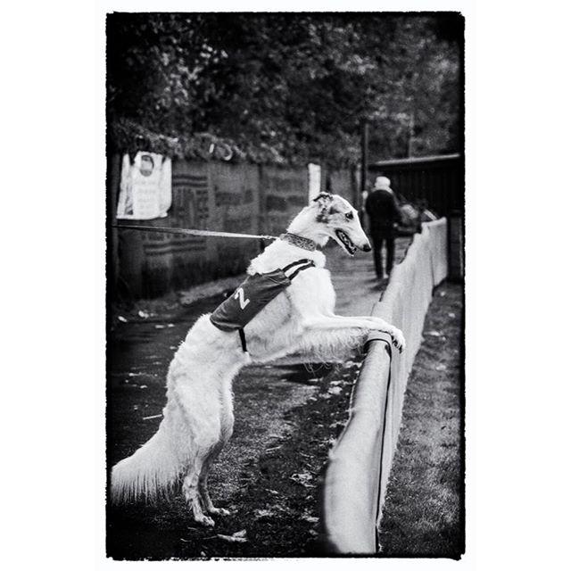 I'll bet all my treats on no. 77! Image 3 of 3. #dograce #greyhound #borzoi #borzoisofinstagram #dog #dogstagram #dogsofinstaworld #hunde #hundefotografie