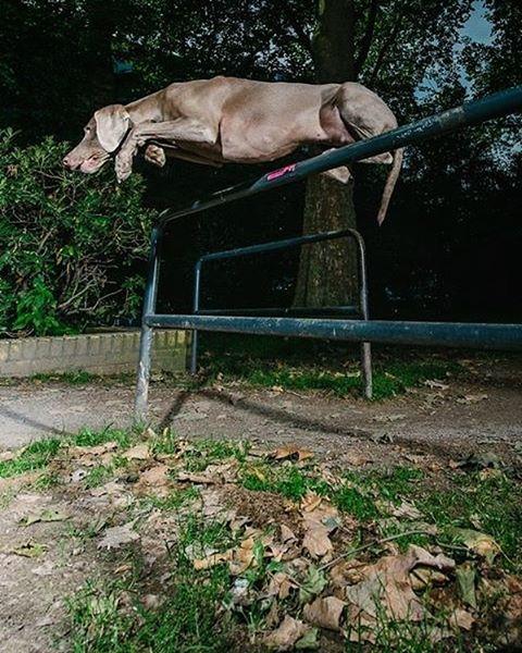 Charlotte doing some street agility in cologne #cologne #dogagility #belgischesviertel #dogs #hunde #hundefotografie #actionphotography #dogsofinstaworld #weimaraner #weimaranerlove #weimaraners #weimaranerofinstagram #truedogsphoto