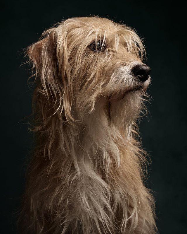 Polly the lovely spanish rescue dog. Some terrier inside. #truedogsphoto #dogs #dogphotography #dogsofinstaworld #terriermix #phaseonephoto #loftstudiocologne #hunde #cologne #belgischesviertel
